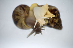 Amour d'escargots avec l'isolat blanc Photographie stock