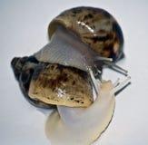 Amour d'escargots avec l'isolat blanc Image libre de droits