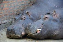 Amour d'hippopotame Photo libre de droits