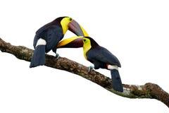 Amour d'oiseau Toucan de Chesnut-mandibled se reposant sur la branche sous la pluie tropicale, fond blanc Scène de faune de natur Images libres de droits