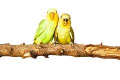 Amour d'oiseaux sur d'isolement Photo stock