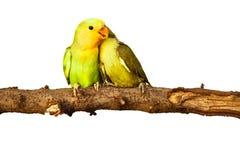 Amour d'oiseaux sur d'isolement Photos stock