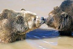 Amour d'ours Photos libres de droits