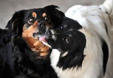 Amour dans la famille de deux chiens Images stock