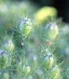 Amour dans le détail de brume grandissant Herb Plant Photographie stock