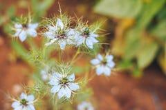 Amour-dans-un-brume la fleur de fleur Image stock