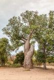 Amour de baobab au Madagascar Image libre de droits