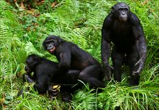 Amour de bonobo. 2 xxx Photographie stock