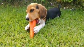 Amour de briquet de chiot manger la carotte photo stock