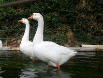Amour de canards Photo stock