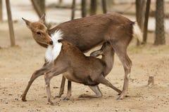 Amour de cerfs communs Photographie stock