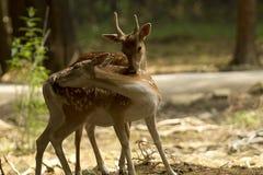 Amour de cerfs communs Photographie stock libre de droits