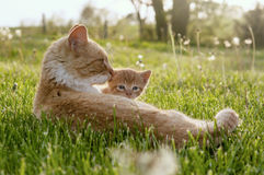 Amour de chat de maman Images stock
