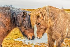 Amour de cheval Photographie stock libre de droits