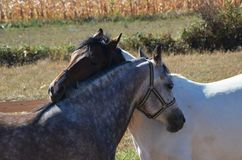 Amour de cheval Image stock