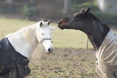 Amour de cheval Image libre de droits