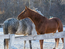 Amour de cheval Photographie stock