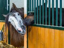 Amour de cheval dans l'écurie Photos stock