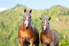 Amour de cheval et de jument Image libre de droits