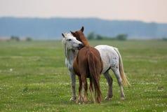 Amour de cheval sur le pré Photos libres de droits