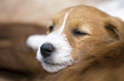 Amour de chien - chiot mignon de terrier de Russell de cric d'animal familier Photographie stock