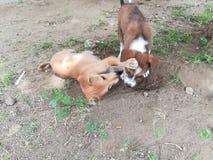 Amour de chiens Photographie stock