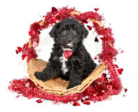 Amour de chiot Photos stock