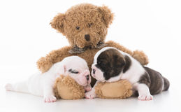 amour de chiot de bouledogue Photos libres de droits