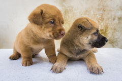 Amour de chiots de couples Photos stock
