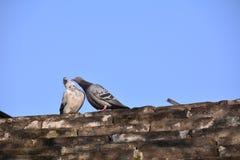 Amour de colombe Photo libre de droits