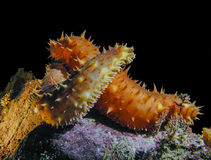 Amour de concombre de mer de la Californie Images libres de droits