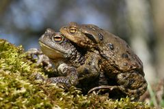 Amour de crapaud Images stock
