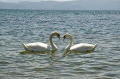 Amour de cygne - deux cygnes Images stock
