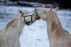 Amour de deux chevaux blancs Photographie stock
