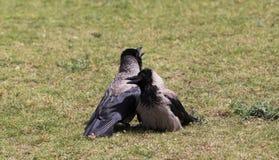 Amour de deux corneilles Photo libre de droits