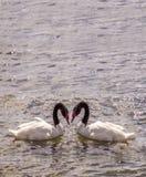 amour de deux oies Photo libre de droits