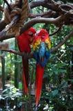 Amour de deux perroquets Image stock