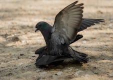 Amour de deux pigeons dehors Image stock