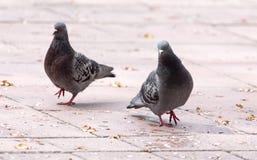 Amour de deux pigeons sur le trottoir Image libre de droits