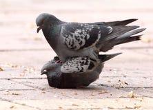 Amour de deux pigeons sur le trottoir Photographie stock libre de droits