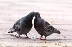 Amour de deux pigeons sur le trottoir Images stock