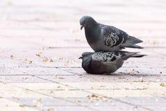 Amour de deux pigeons sur le trottoir Photos libres de droits