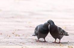 Amour de deux pigeons sur le trottoir Images libres de droits
