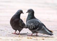 Amour de deux pigeons sur le trottoir Photographie stock
