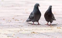 Amour de deux pigeons sur le trottoir Photos stock