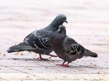 Amour de deux pigeons sur le trottoir Photo libre de droits