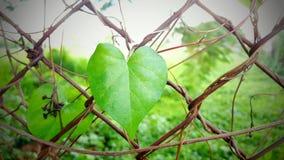 AMOUR de DLEAVES, feuille verte de coeur, fond de nature Images libres de droits