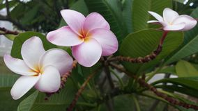 Amour de fleur d'île Photo libre de droits