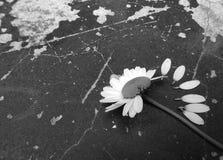 Amour de fleur de marguerite Photos stock