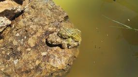 Amour de grenouille Images libres de droits